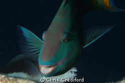 Smiling parrotfish by Chris Crediford 